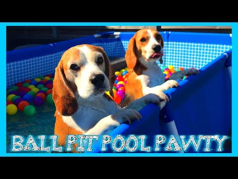 TURN YOUR POOL INTO A BALL PIT : Louie The Beagle