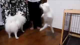 日本スピッツ ゆめジャンプジャンプ thumbnail
