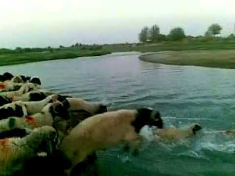 أغنام تعبر النهر. بالعراق