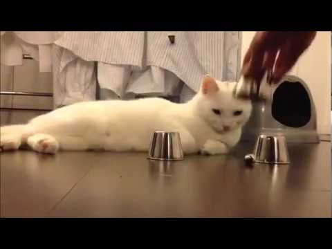 another smart cat video