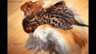 леопардовые кошки