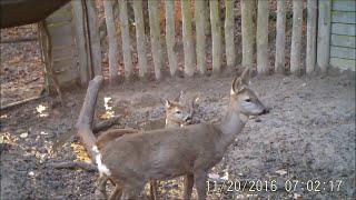 Jakie zwierzęta wchodzą do odłowni na dziki?