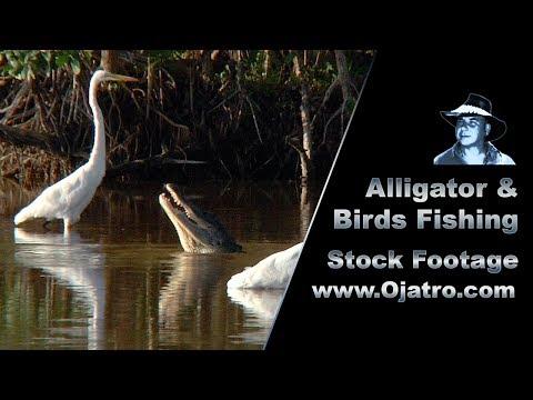Alligator & Birds Fishing 01 Stock Footage