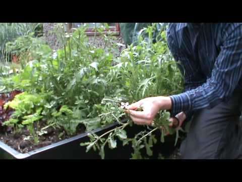 SmartGrowers - How to control bolting salad rocket and mizuna