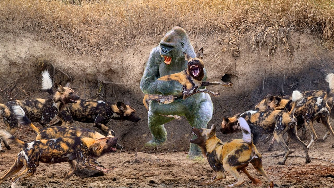 Big Battle. Baboon Attacks Wild Dog and Hyena Hunting. Babuinos Atacan