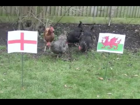Chickens Predict Six Nations Rugby Outcome