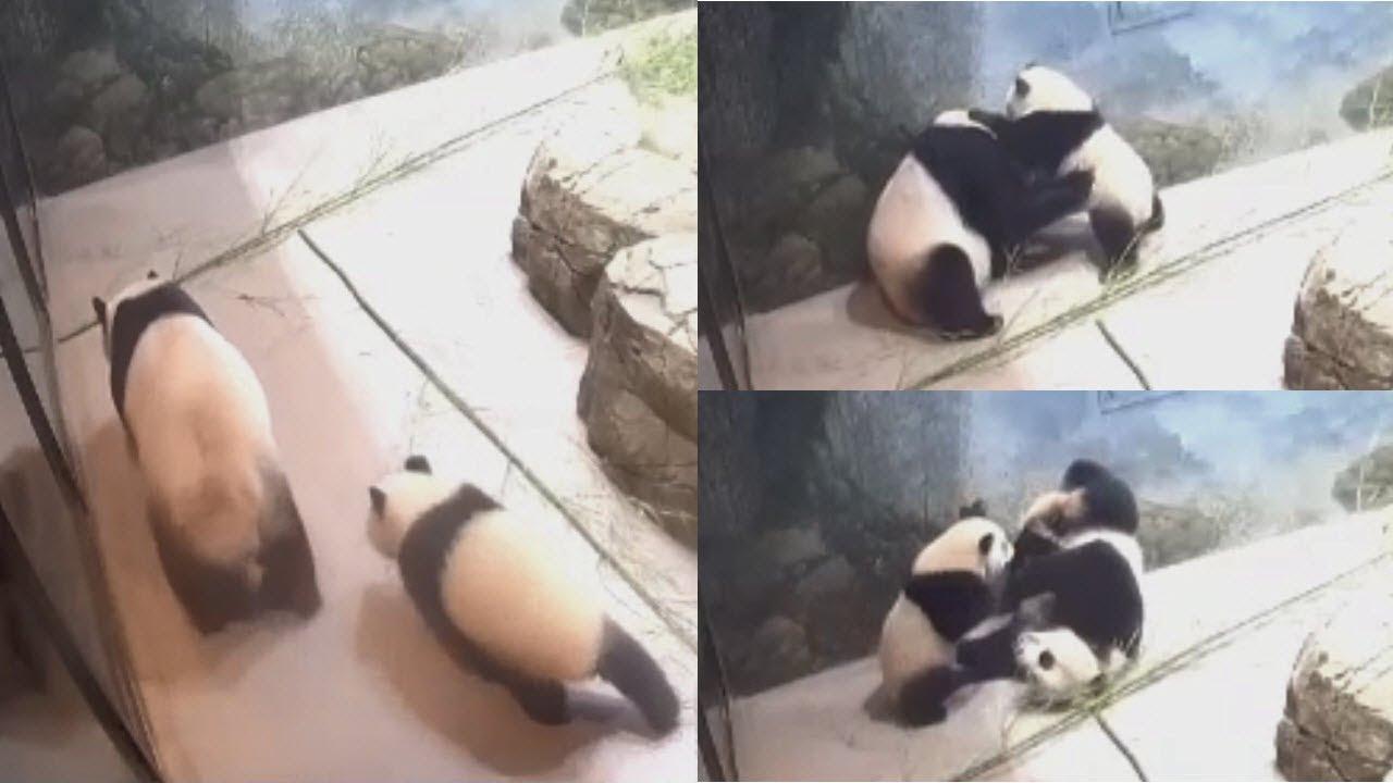 2021-07-26 Xiao Qi Ji ~ Did Mei Xiang Bark?