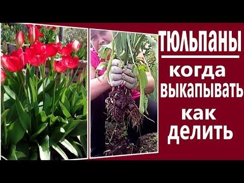 Когда выкапывать и как хранить тюльпаны