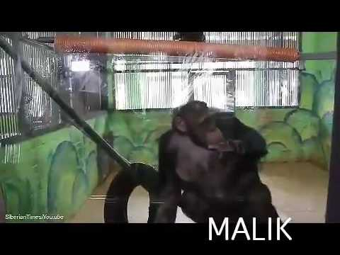 a great chimpanzee cleaning the house window
