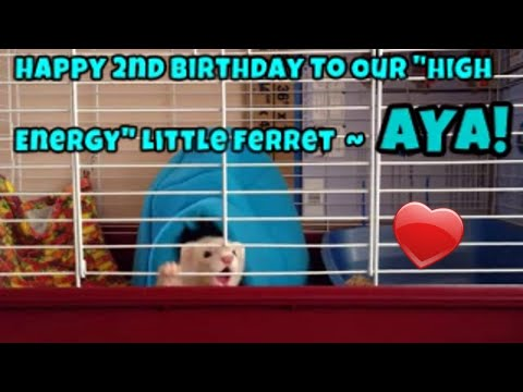 Happy 2nd Birthday To Our 'High Energy' Little Ferret ~ Aya!: Our Other Adorable Pets 3 - VOL. 45