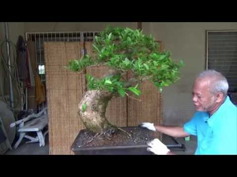 Bonsai Tutorials for Beginners: Potting a Large Premna Odorata Material to its first Bonsai Pot.