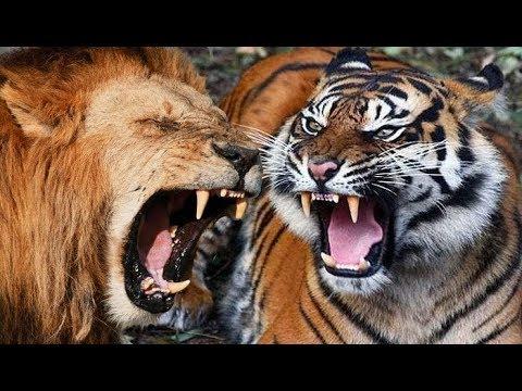 SADIS ! SINGA VS HARIMAU VS BABI VS MACAN VS BERUANG ! KOMPILATION