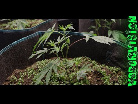 Building Organic Living Soil for Medical Cannabis!