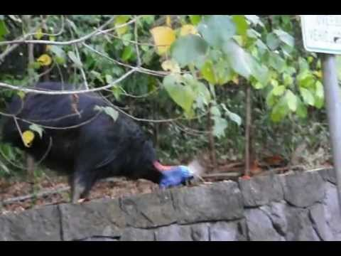 DOUBLE WATTLED CASSOWARY - RATITE