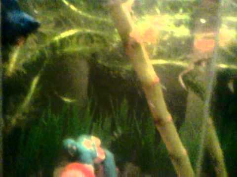 African Fishing Betta Fish And African Dwarf