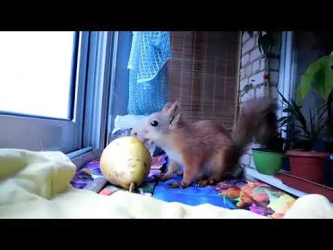 Кандиль орловский яблоня - YouTube
