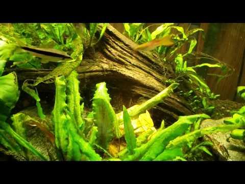 Best Algae Eating Fish EVER: These Got My Hair Algae Under Control In Days