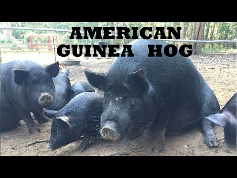 Raising  American Guinea Hogs on our Family Farm & Homestead!! Heritage Breed Pigs
