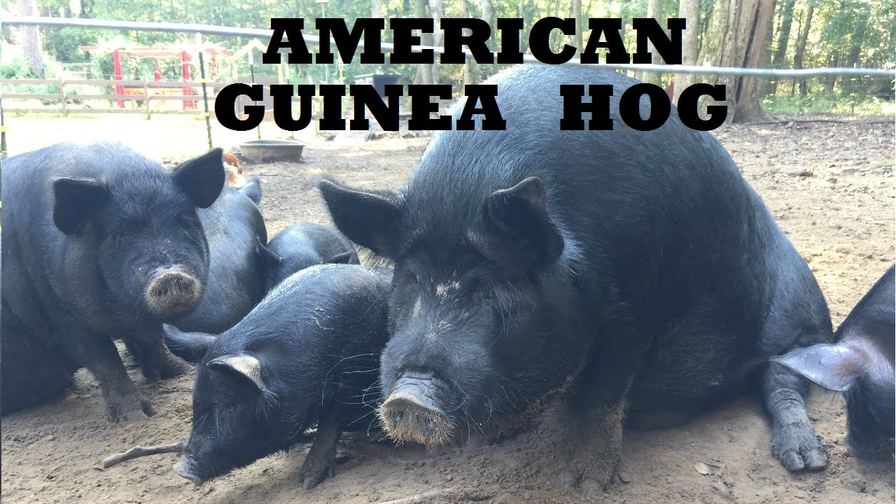 R Hogs Raising America...