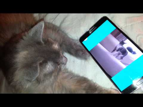 Funny cat vine kitty watches YouTube cat videos
