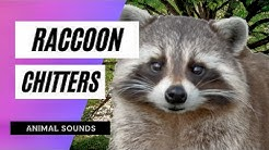 The Animal Sounds: Raccoon Chitters  - Sound Effect - Animation