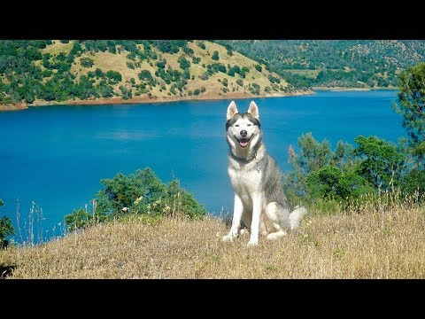 HUSKY SWIMS IN CRYSTAL BLUE LAKE! - 2 MILLION SUBSCRIBERS!