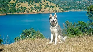 husky-swims-in-crystal-blue-lake-2-million-subscribers