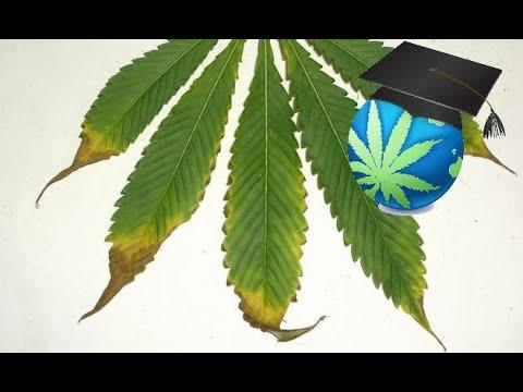 Learn to Spot  Treat Nutrient Burn - Cannabis Plants - YouTube