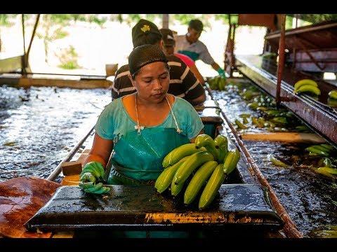 Come On In to Coobana Fairtrade Banana Plantation   Fairtrade