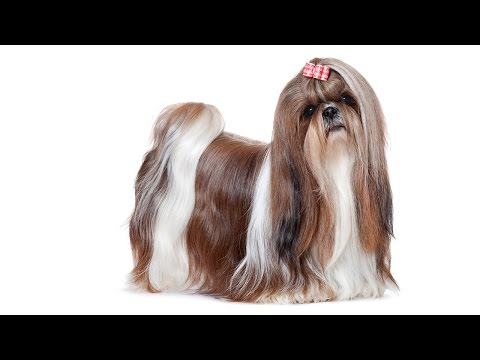 Shih Tzu - The Lovable Lap Dog