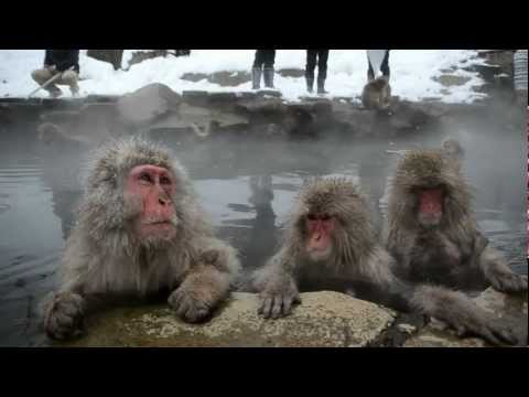 Japon, Shigakogen,Parc de Jigokudani, bain des singes dans un onsen