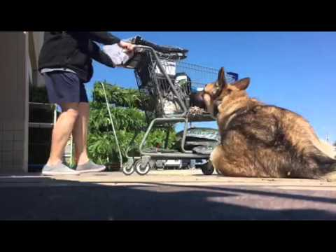 German Shepherd Down With Distractions | Dog Trainers Virginia