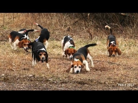 Skyview's Beagles Rabbit Hunt With Fortier And Reed No SHow Ron