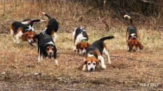 Skyview's Beagles Rabbit Hunt With Forti...