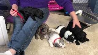 Lilly's schnoodle puppies for sale 3.5 weeks oldOctober 10, 2019