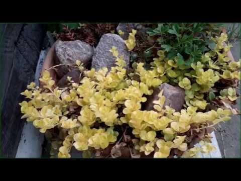 Вербейник монетчатый и точечный в нашем саду.