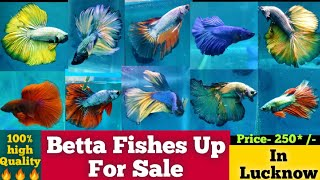 Betta fish for sale in lucknow    Imported betta fish for sale    Imported High quality Betta Fishes
