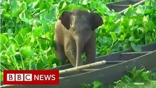 Stranded baby elephant rescued from lake - BBC News