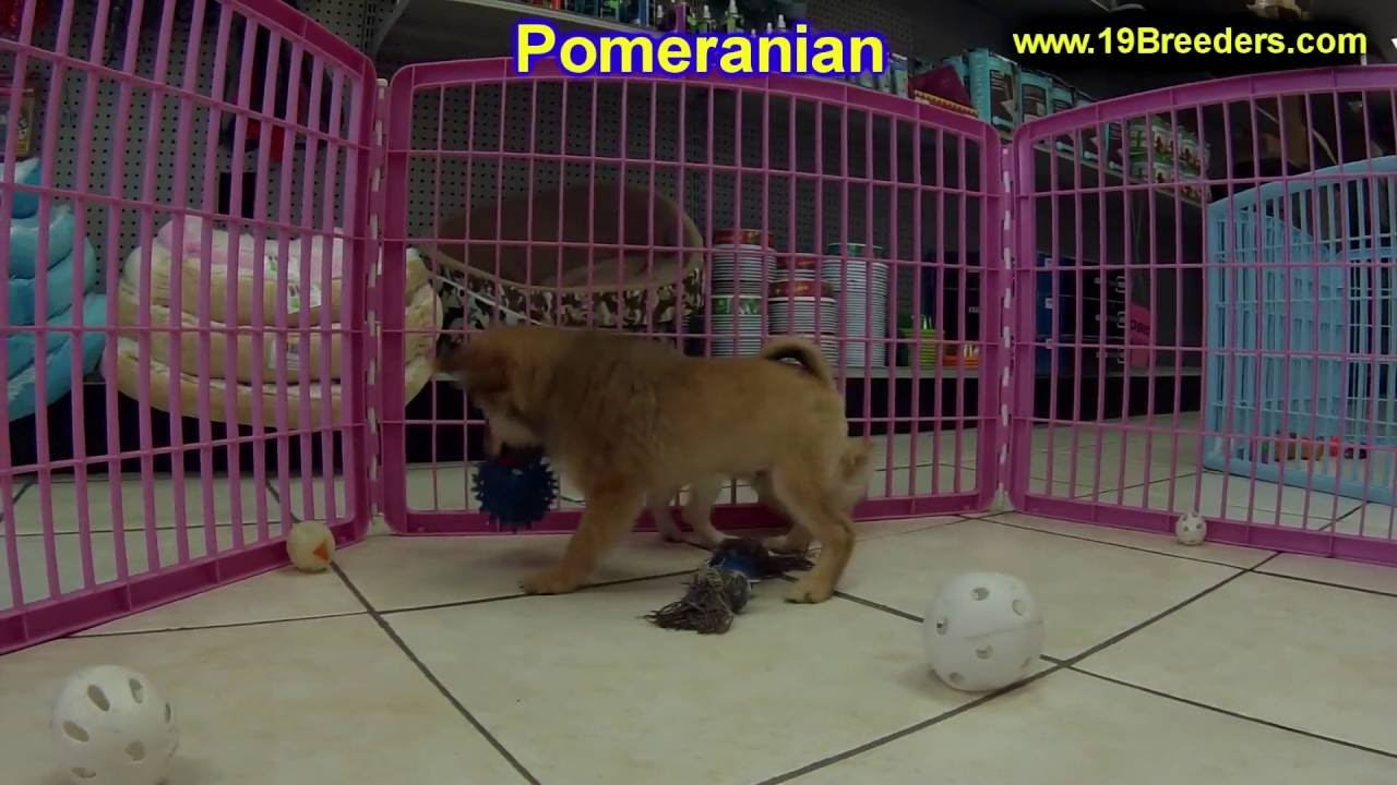 Pomeranian, Puppies, Dogs, For Sale, In Anchorage, Alaska ...