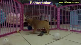 Pomeranian, Puppies, For, Sale, In, Anchorage, Alaska,ak, Fairbanks, Juneau, Eagle River