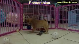 Pomeranian, Puppies, For, Sale, In, Anchorage, Alaska,AK, Fairbanks, Juneau, Eagle River