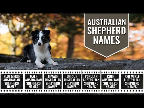 Australian Shepherd Dog Names – 150 Unique Names For Aussie Dogs