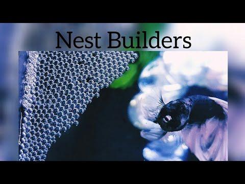 Bubblenest Builders-Labyrinth/Surface Air Breathing Fishes-Breeding-Betta-Gourami-EshwarGandhi