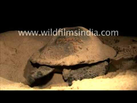 Olive ridley turtle protecting its eggs in Orissa, India