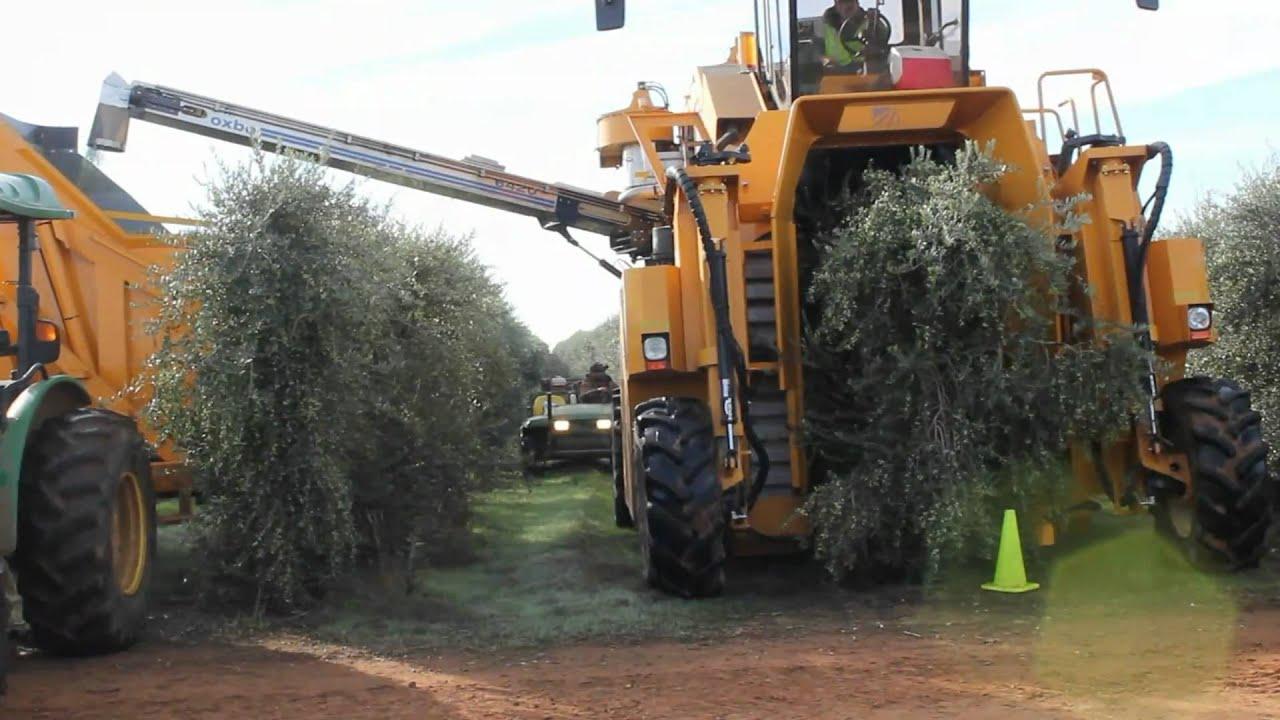 Oxbo 6420 Super High Density Olive Harvester