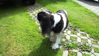 Anny - Cavalier King Charles Spaniel - Black & White In Full Hd