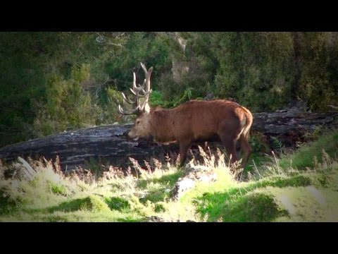 Hunting Rusa deer in the roar in New Caledonia part 56