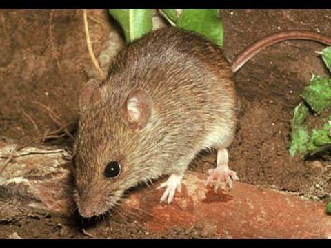 Вопрос: Как выгнать мышей из теплицы?
