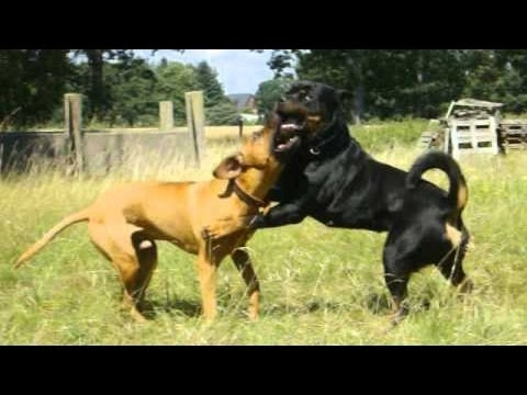 Rottweiler vs Rhodesian Ridgeback - Guardian vs Hunter