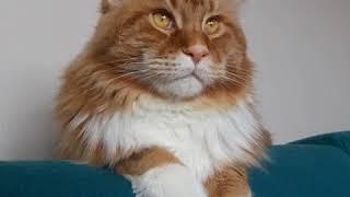 Cute Funny CAT HD video